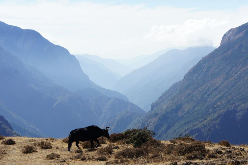 Bull standing against mountains and sky