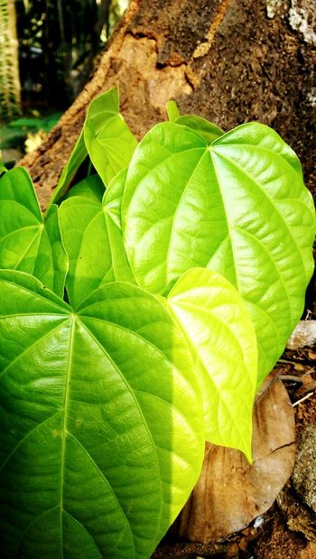 Green Leaves Leaf Green Color Growth Close-up Nature No People Freshness Day Plant Outdoors Fragility Beauty In Nature