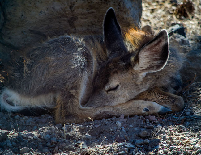 """Sleeping Beauty...Little """"Chipmunk"""" catching a nap Animal Behavior Animal Themes Baby Bestoftheday Check This Out Day Deer Domestic Animals Domestic Cat Eye4photography  Fawn Mammal No People One Animal Outdoors Pets Precious Sleeping Stray Animal Zoology"""