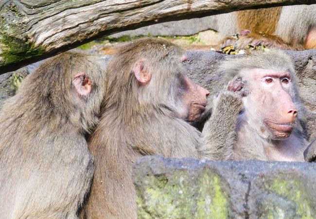 Delousing Pavian Animals Three Animals Close-up Zoo Baboon Monkey