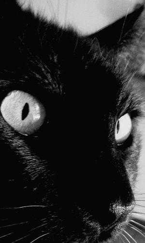 Gato Ojos Verdes Gato Negro Black Color Feline One Animal Domestic Animals Domestic Cat Eye Vision Pets EyeEm Gallery Vishnu
