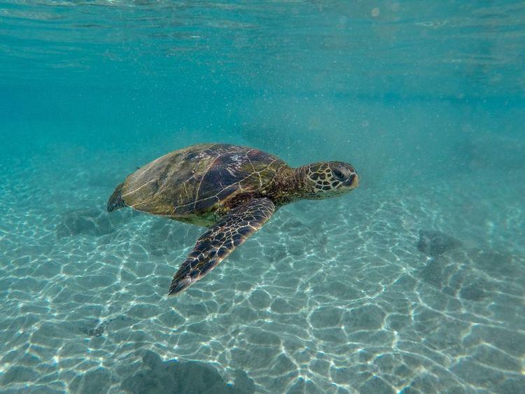 Sea Turtle Swimming Underwater Turtle Hawaii