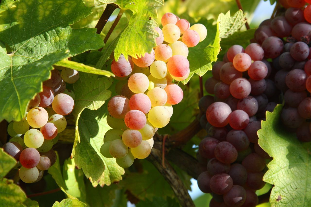food, food and drink, fruit, healthy eating, freshness, grape, wellbeing, growth, leaf, plant part, close-up, plant, agriculture, no people, day, bunch, vineyard, nature, green color, ripe, outdoors, winemaking