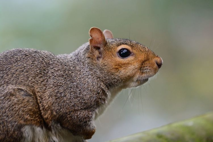 Close-up of gray squirrel on plant stem