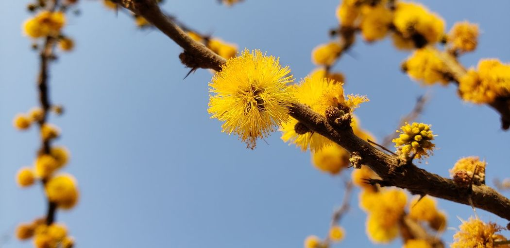 Close-up of yellow flowering plant against clear sky