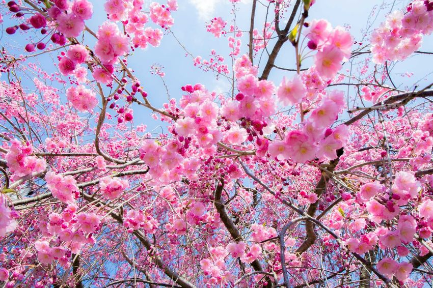 Cherry Blossoms Flower Springtime