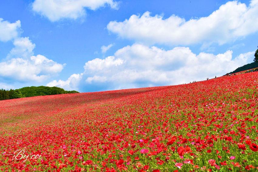 秩父牧場 ポピー 絶景 Flower Collection Japan Hello World Landscape Memories 天空のポピーを見に行ってきました。山を登りつめたその先に、一面の紅い絨毯。ため息とともに 感動!
