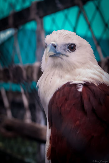 Close-up portrait of eagle in cage