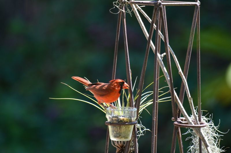 Close-up of male cardinal bird perching on bird feeder