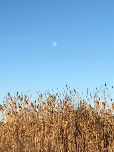 EyeEm Selects Moon Nature Growth Clear Sky Field Tranquil Scene Landscape Half Moon Tranquility