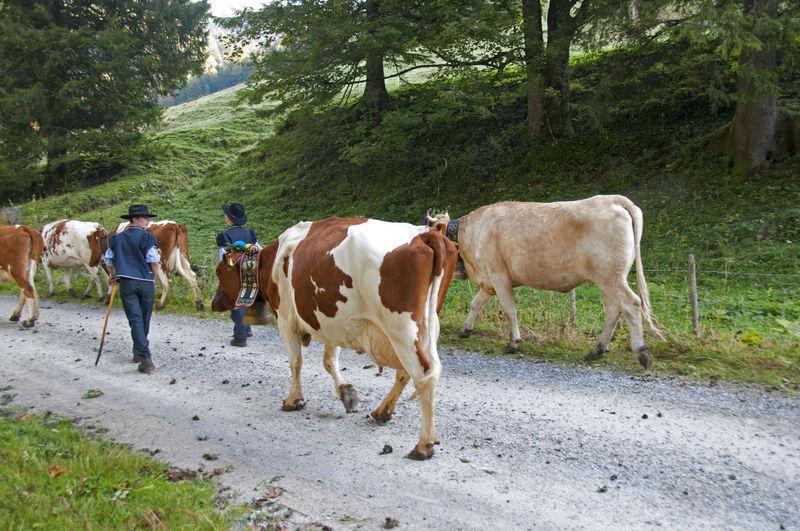Swiss cows