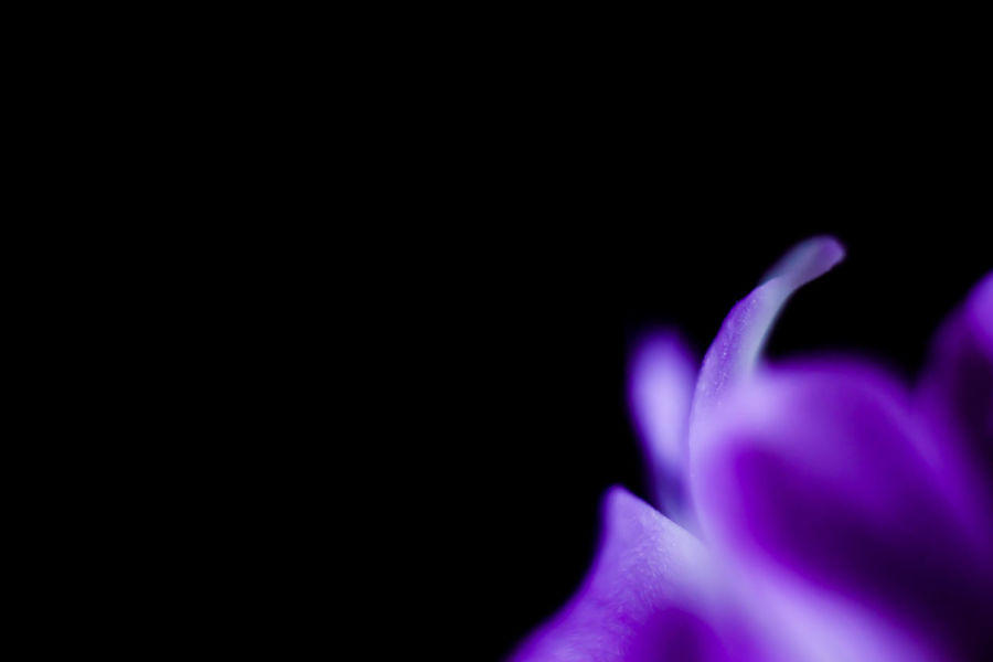 Macro Macro Photography Macro_collection Macro Beauty Macro Nature Flower Copy Space Purple Beauty In Nature Black Background Studio Shot Flowering Plant Freshness Close-up Petal Vulnerability  Inflorescence Fragility Flower Head Plant Indoors  No People Growth Nature