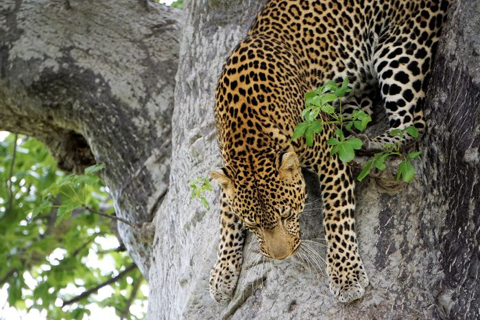 Mdonya Old River Camp Ruaha Tanzania Africa Animal Animal Themes Animal Wildlife Animals In The Wild Big Cat Carnivora Cat Day Feline Leopard Mammal No People One Animal Safari Tree Tree Trunk Trunk Undomesticated Cat Vertebrate Zoo