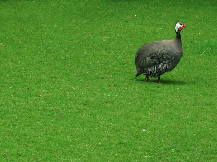 High angle view of duck walking on field