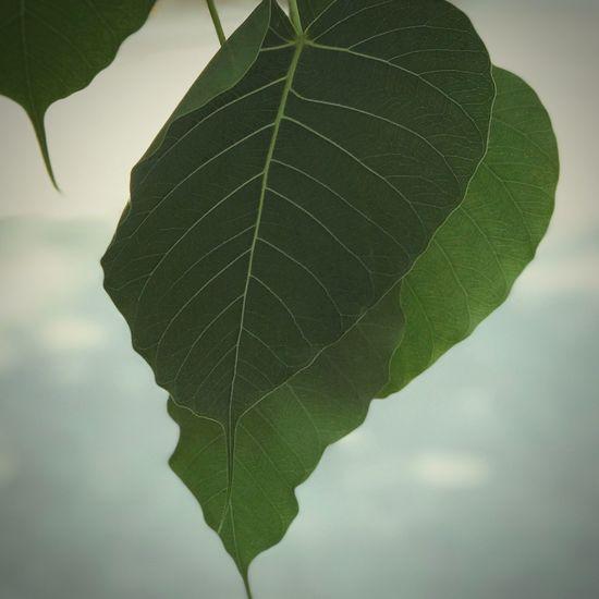 ใบไม้ Leaf Green Color Close-up Growth Day Nature No People Plant Outdoors Beauty In Nature Freshness Tree ใบโพธิ์ในวัด