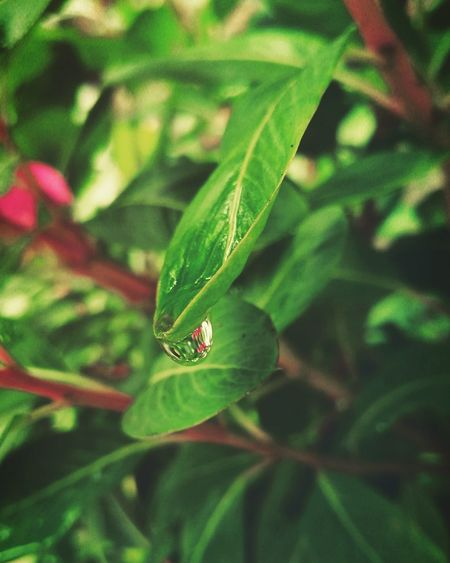 Leaf Green Color Nature Plant Beauty In Nature Close-up Growth Freshness Day Outdoors Waterdrops Rainy Season Rain Drops On Leaves