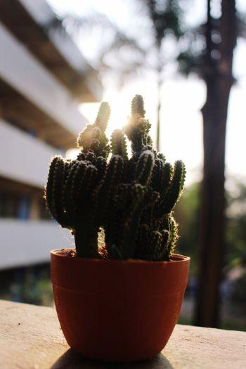 Sunlight Cactus