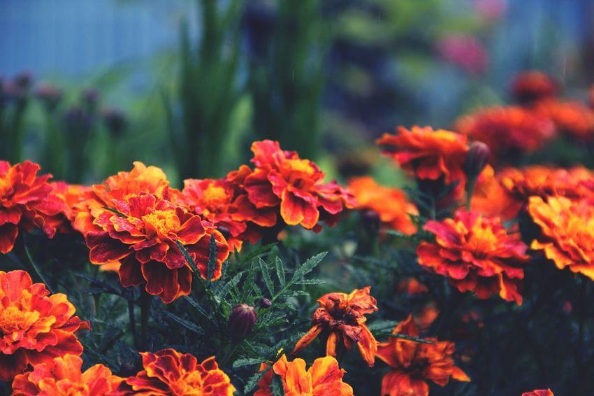 Flower Freshness Beauty In Nature Orange Color In Bloom Blossom Plant Petal Fragility