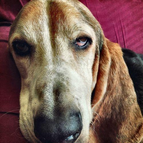 Portrait of a handsome hound dog Pets Dog Close-up Pampered Pets Colorphotography Doggie Love Bassetworld Bassetphotography Lovinthecamera Extreme Close Up Bassetmoments Bassethoundadventures Posing For The Camera Iphonephotography Ilovebassethounds Enjoying Life Loves Attention Seniordogsrock