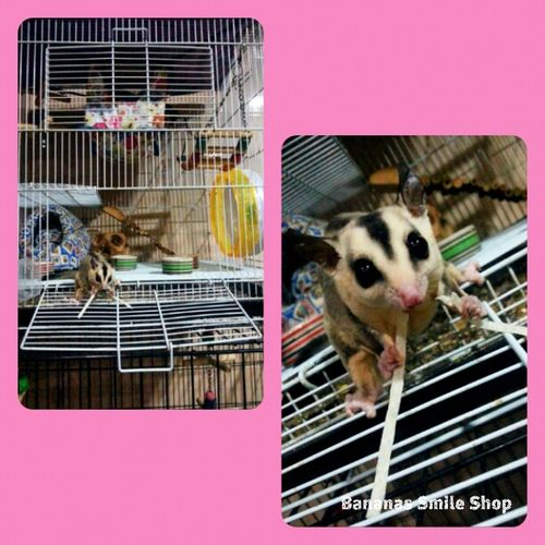 Sugar Glider Pets Cute Whiteface