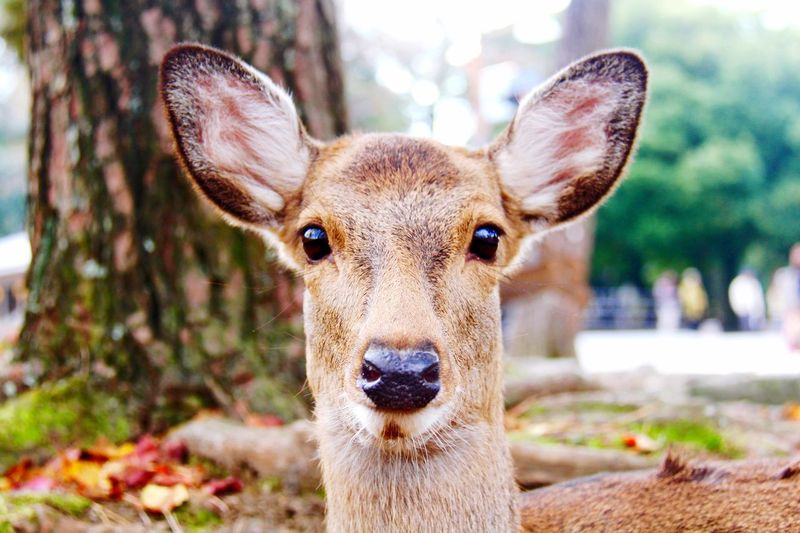 An endearing new friend Looking At Camera Portrait One Animal Animal Themes Mammal Focus On Foreground No People Close-up Animals In The Wild Day Nature Outdoors Nara Eyes EyeEm Nature Lover Deer Deersighting Japan Kyoto EyeEmNewHere
