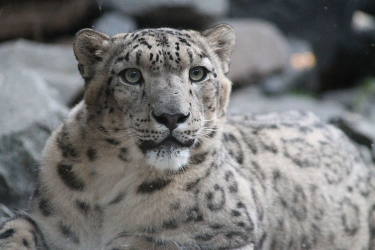 Close-up portrait of a snow leopard