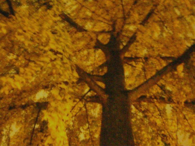 Ginkgo BilobaTreeat Nightin the Rain. Maidenhair Tree Male Endangered  Living Fossil Official Tree Of Tokyo Yellow Stunning Beautiful Breathtaking Nature Tree