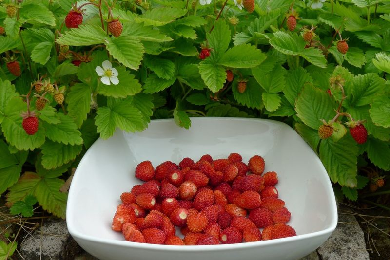 Freshly picked wild strawberries Berry Fruit Bowl Close-up Day Food Food And Drink Freshly Picked Freshness Fruit Green Color Healthy Eating Leaf Nature No People Plant Plant Part Red Ripe Strawberry Table Wellbeing Wild Strawberries