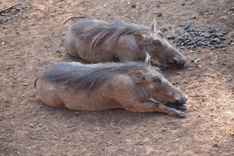 Mr and Mrs Warthog having a chill. First Step Adventure Kenya Wildlife Warthog Animal Wildlife Animals In The Wild