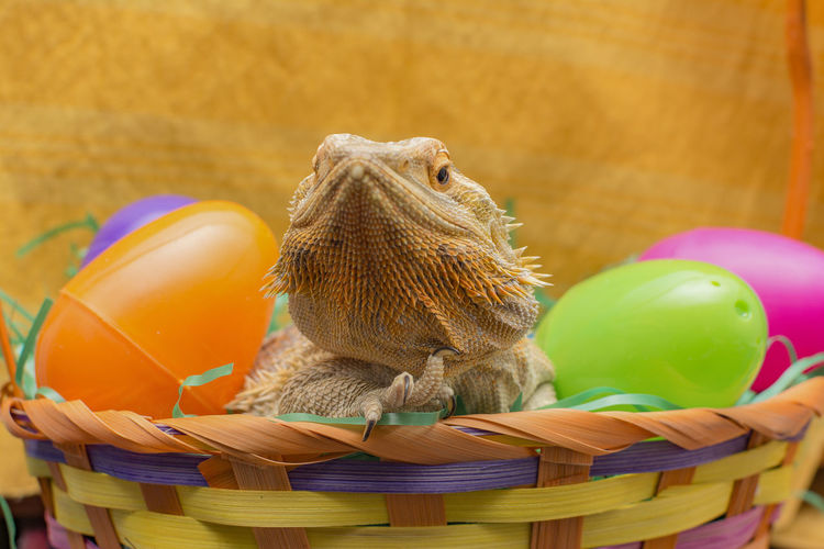 Reptile Multi Colored No People Bearded Dragon Lizard Indoors  Close-up Basket Indoors  Beardie Animal Themes Eggs Day Easter Eggs One Animal Nature Easter Animals In The Wild Still Life Whicker Freshness Yellow Fragility Indoors  Table