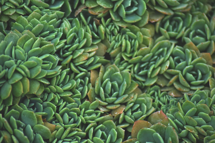 Abundance Backgrounds Beauty In Nature Close-up Day Food Food And Drink Freshness Full Frame Green Green Color Healthy Eating Indoors  Large Group Of Objects Natural Pattern Nature No People Pattern Succulent Plant Wellbeing