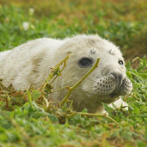 Young pup on Staple Island, North Humberland. Puppy Seal Seal Animals Nature Young Animal New Borns Sealife Seals Seals In The Suns Seals Basking