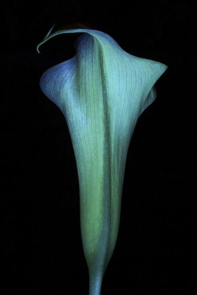 Green Nature Plant Blackbackground Blue Botanic Calla Calla Lily Delicate Delicate Flowers Fine Art Flower Flowers Flowers, Nature And Beauty Fragility Petal Still Life Total