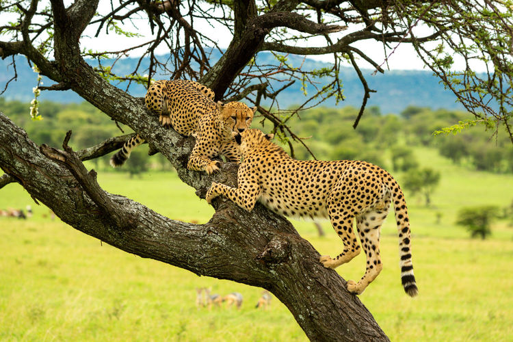Cheetahs climbs to another lying on branch