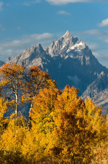 Fall Colors Grand Tetons Fall Aspens Grand Tetons National Park Grand Tetons Mountain Beauty In Nature Mountain Range Mountain Peak Snowcapped Mountain Autumn Collection Scenics - Nature Nature Outdoors Autumn