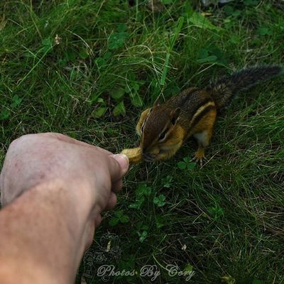First time feeding a wild chipmunk by hand. Greedy bugger already had one peanut in his cheek. Today was a good day :-D Animallover Wildlifephotography Wildlifepark Chipmunk Photooftheday Instadaily Instanature Natureshots Natureseeker Natureonly Natures_hub Natures_cuties Animallover Animal_captures Wildlife_perfection Luckywiththeanimals