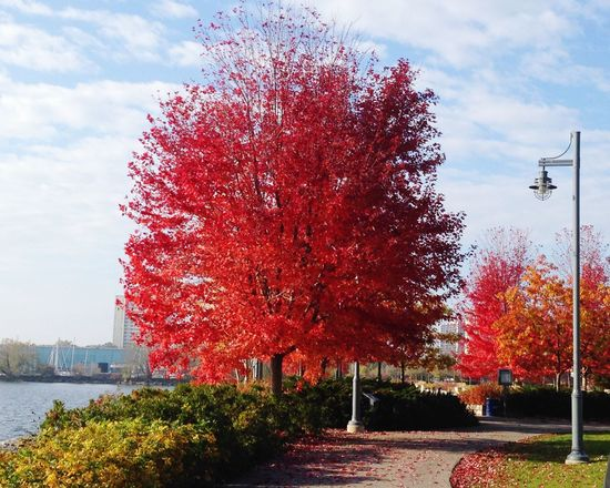 Red And Yellow And Orange And Green Autumn Glory Red Leaves Showcase: January Port Credit