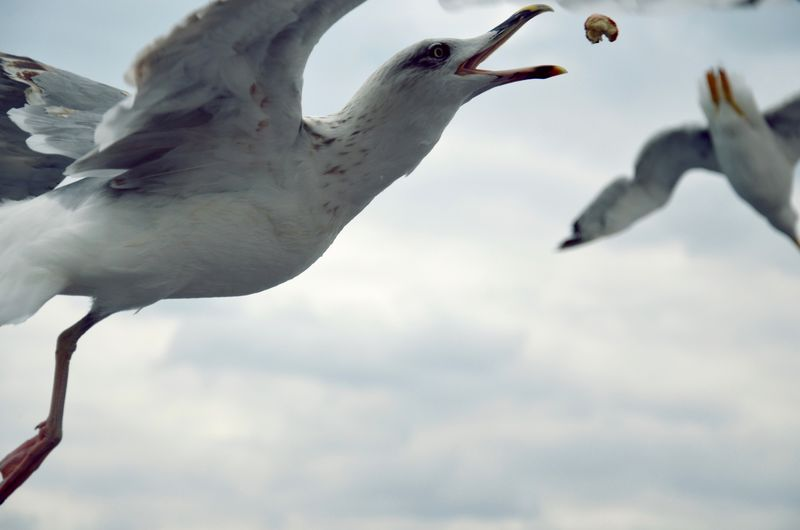 Close-Up Of Seagull Catching Food In Mid-Air Against Cloudy Sky