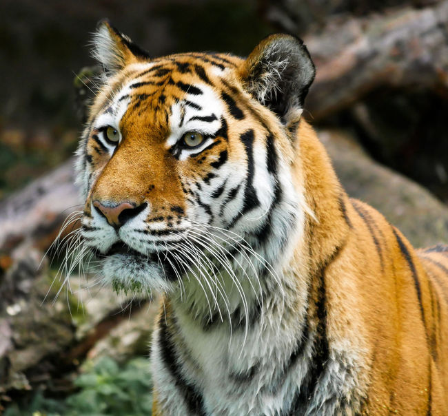 A tiger with beautiful colors in the forest Tiger Face Animal Forest Fire Forest Photography Colors Of Life Colors Of Autumn Trees Collection Trees And Sky Strong Colors Strong Coffee Huge Clouds Huge Breakfast Fierce ! Clawed Otter Fast Food Tiger Asia Water Reflections Tiger Africa Big Cat Animal Wildlife