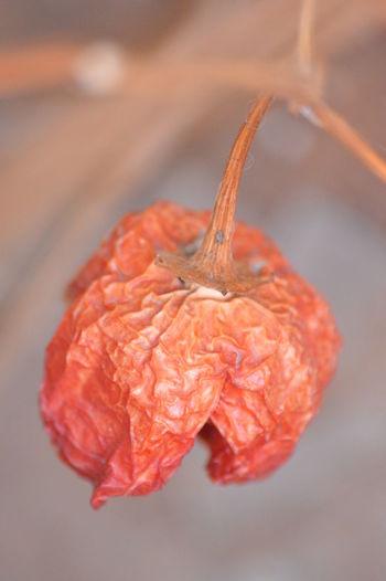 Campanita chili