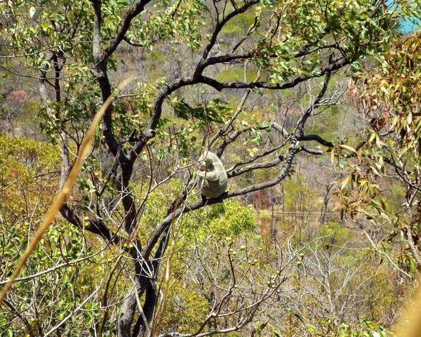 Koala Australia Magnetic Island