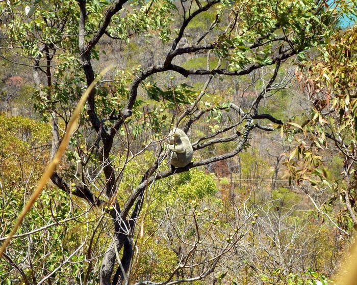 Koala Australia Magnetic Island Woods Greenery Flora