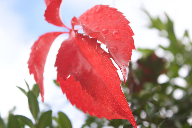 Red Close-up Plant Beauty In Nature Freshness Growth Nature Leaf Day Plant Part Outdoors No People Leaves Fall Autumn