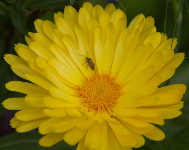Beauty In Nature Blooming Close-up Day Flower Flower Head Focus On Foreground Growth In Bloom Insect Nature Outdoors Petal Plant Pollen Pollination Selective Focus Wildlife Yellow