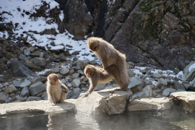 Japanese Macaques Mating On Rock