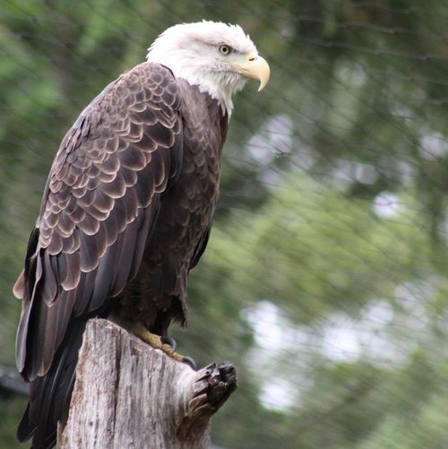 Beak Bald Eagle