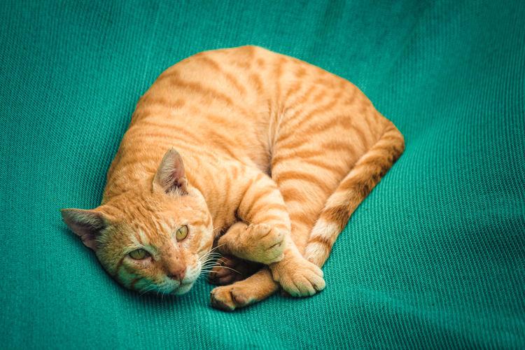 Brown beautiful cat on green carpet