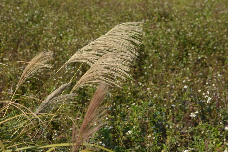 Agriculture Beauty In Nature Cereal Plant Close-up Day Farm Field Grass Growth Nature No People Outdoors Plant Scenics Wheat