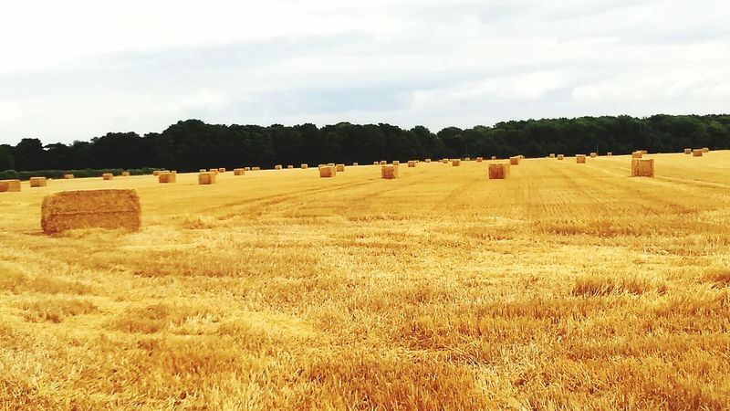 Harvest Time Straw Bales Of Hay  Fieldscape British Countryside Farmlandscape Farm Life Farm Distant Trees