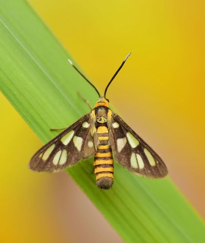 Tiger moth Insect Animal Themes Animals In The Wild One Animal Animal Wildlife Butterfly - Insect No People Close-up Nature Yellow Beauty In Nature Butterfly Outdoors Fragility Spread Wings Macro Photography Insects Collection Macro Beauty Macro_collection Tiger Moth
